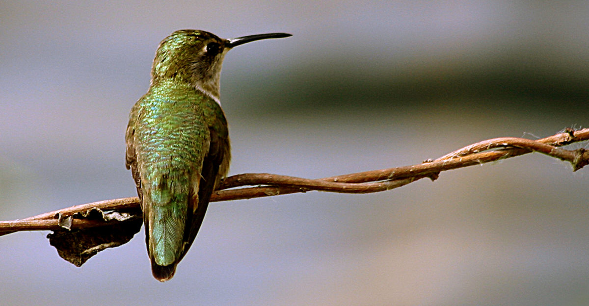 humming bird essay This is one of essays i wrote for the doug tarry young ornithologists' workshop  the original essay topic was to write about your favorite bird,.